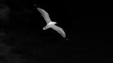 BW Gull in flight.jpg