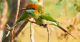 Green Bee Eater Sri Lanka*Credit*