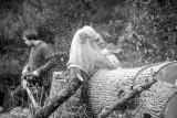 EAB - Emerald Ash Borer Invasive Ash Tree Killer