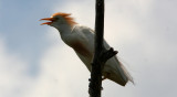Cattle egret in courting season