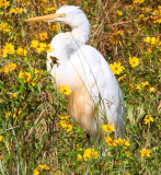 Autumn in a Louisiana Swamp with Great White Egret