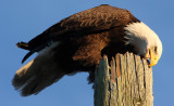 Have you ever seen the tongue of an eagle