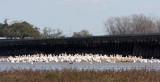 Pelicans feeding at Bonnet Carre' Spillway