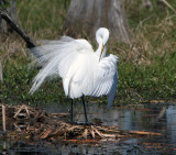 The Great White Egret in its Courting Feathers