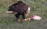 The American Bald Eagle with its catch