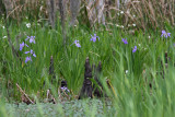 When it's Iris Time in the Louisiana swamps