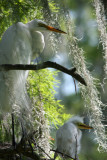 Great White Egret with Chick