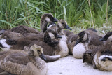 Baby geese.