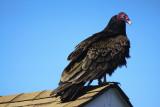 Turkey Vulture.
