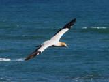 Gannet In Flight 1