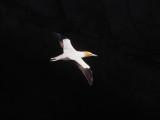 Gannet In Flight 6