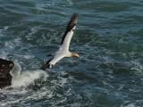 Gannet In Flight 7