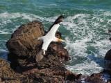 Gannet In Flight 8