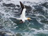 Gannet In Flight 9