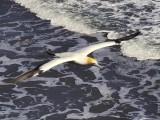 Gannet In Flight 10