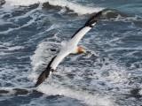 Gannet In Flight 11