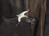 Gannet In Flight 12