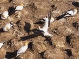 Gannet In Flight 14
