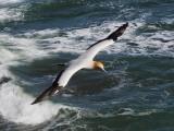 Gannet In Flight 4