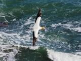 Gannet In Flight 5