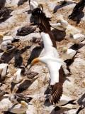 Muriwai Beach Gannets 2019-20