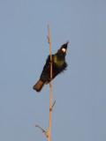 Tui Parson Bird 2
