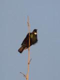Tui Parson Bird 3
