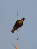 Tui Parson Bird 4