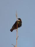 Tui Parson Bird 5