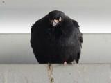 Black Pigeon