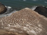 Gannet Colony 1