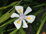 New Zealand Iris