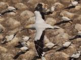 Muriwai Beach Gannets 2020-2021