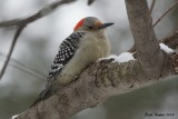Pic à ventre roux (Red-bellied Woodpecker)