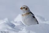 Plectrophane des neiges (Snow Bunting)
