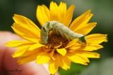 Chenille à chevrons (Melanchra adjuncta)