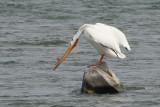 Pélican blanc d'Amérique (American White Pelican)