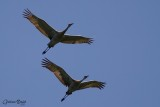 Grue du canada (Sandhill Crane)