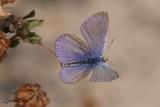 Bleu argenté (Glaucopsyche lygdamus couper)