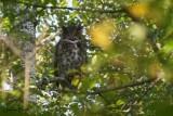 Grand-duc d'Amérique (Great Horned Owl)