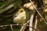Paruline à poitrine baie (Bay-breasted Warbler)