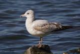 Goéland à bec cercle (Ring-billed Gull)