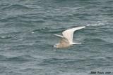 Goéland arctique (Iceland Gull)