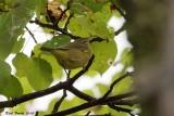 Paruline verdâtre (Orange-crowned Warbler)