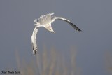 Goéland argenté (Herring Gull)