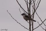 Pie-grièche boréale (Northern Shrike)