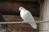 Pigeon biset (Rock Dove)