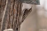 Grimpereau brun (Brown Creeper)