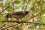 Petite Buse (Broad-winged Hawk)