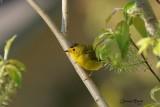 Paruline à calotte noire (Wilson's Warbler)